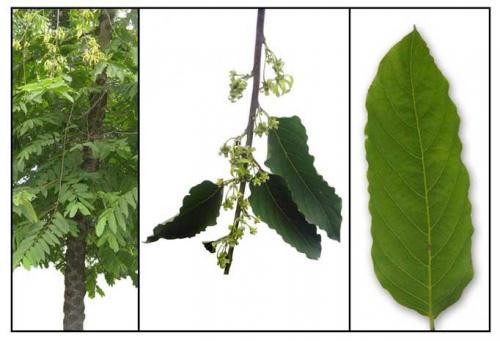 Ylang Ylang tree leaves